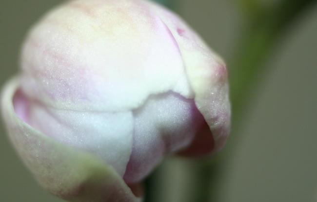 [Photos] Vos Phalaenopsis Phalbouton