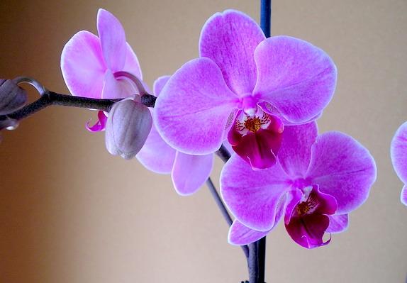 [Photos] Vos Phalaenopsis Phal2