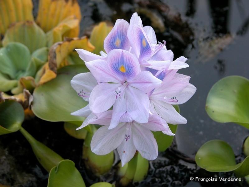 une fleur - blucat- 8 août trouvée par martine - Page 2 FV_jacinthe_d_eau_juillet