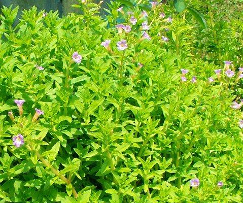 Sưu Tầm Cây Xanh Hoa Đẹp Rau-ngo-tri-soi-than-2