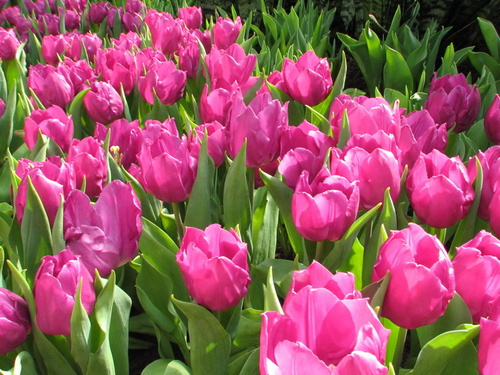 How to use the Forum Tulips