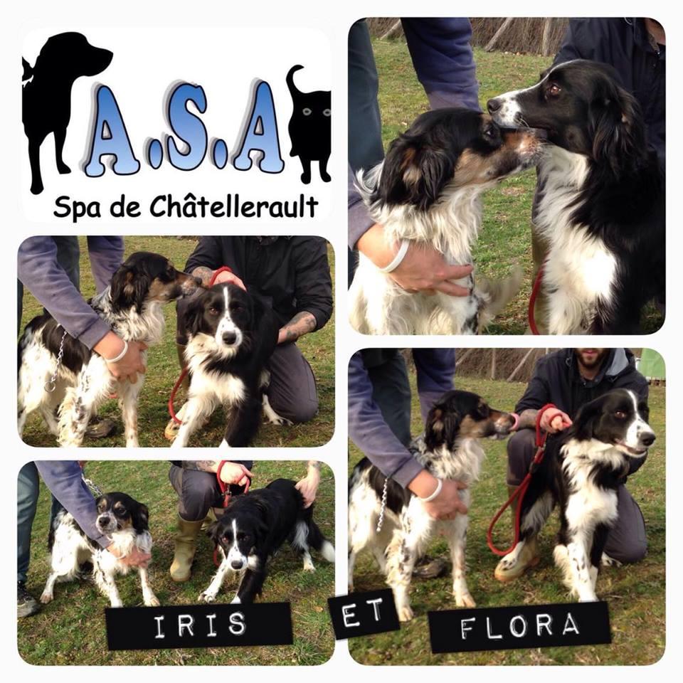 IRIS et FLORA - x epagneul/border 5 ans - Refuge ASA de Chatellerault (86) IRIS-ET-FLORA