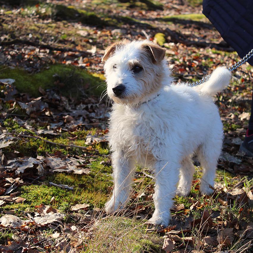 LEOo - fox terrier 10 ans - Spa de Limoges (87) 1--1-LEO200223