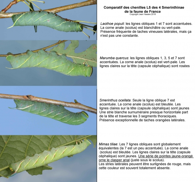 chenilles de sphinx ? [Smerinthus ocellata] Identification des chenilles de Smerinthinae Planche-l%C3%A9gend%C3%A9e-light