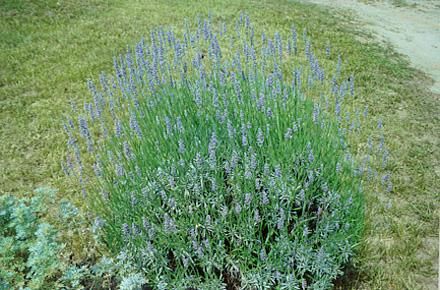 كيف تنسق الحديقة Provence