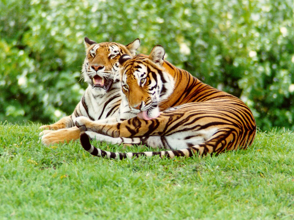 Tigrovi TIGERS
