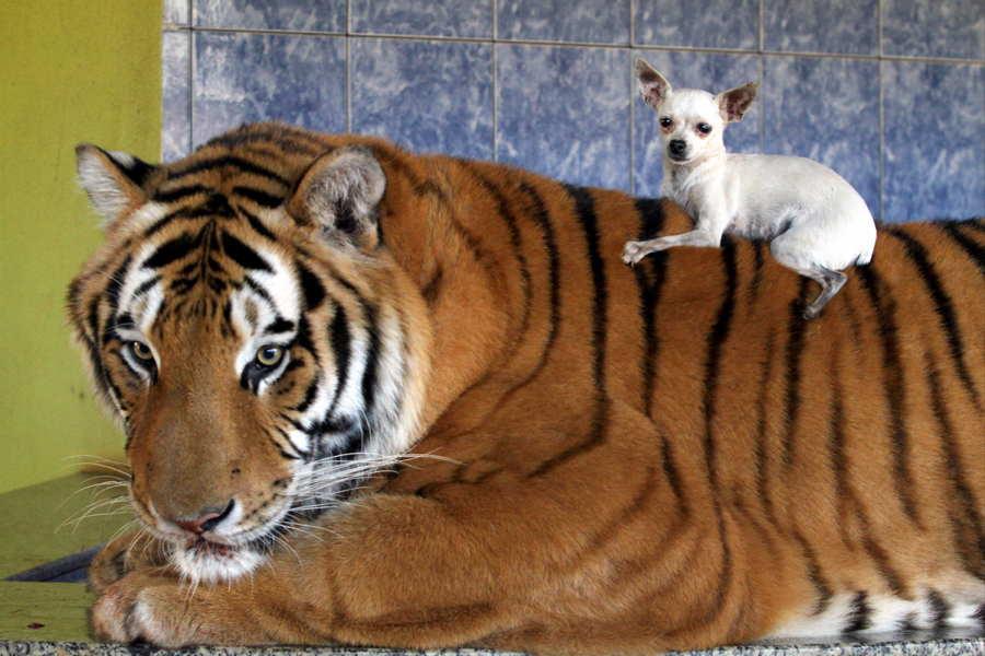 ФОТО - Page 3 Surprising-photos-chihuahua-tiger