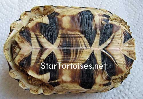 tortues étoilées d'Inde, mâle ou femelle? - Page 2 Bur-plastron2