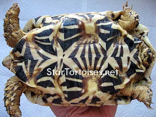 tortues étoilées d'Inde, mâle ou femelle? - Page 2 Sri-plastron3