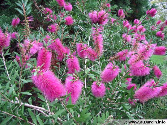 une fleur à découvrir par blucat (13juillet)trouvée par ajonc Callistemon-citrinus-cv-reeves-pink-540x405