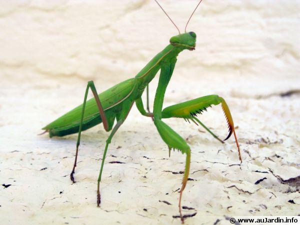 Planètes et animaux ! Mantis-religiosa-600x450