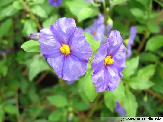 une fleur - blucat- 8 août trouvée par martine Solanum-rantonetti-fleur-540x405