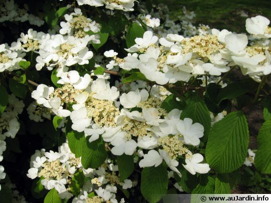 la fleur de Martin du 11 janvier trouvée par Jovany Viburnum-plicatum-v-lanarth-fleur-540x405