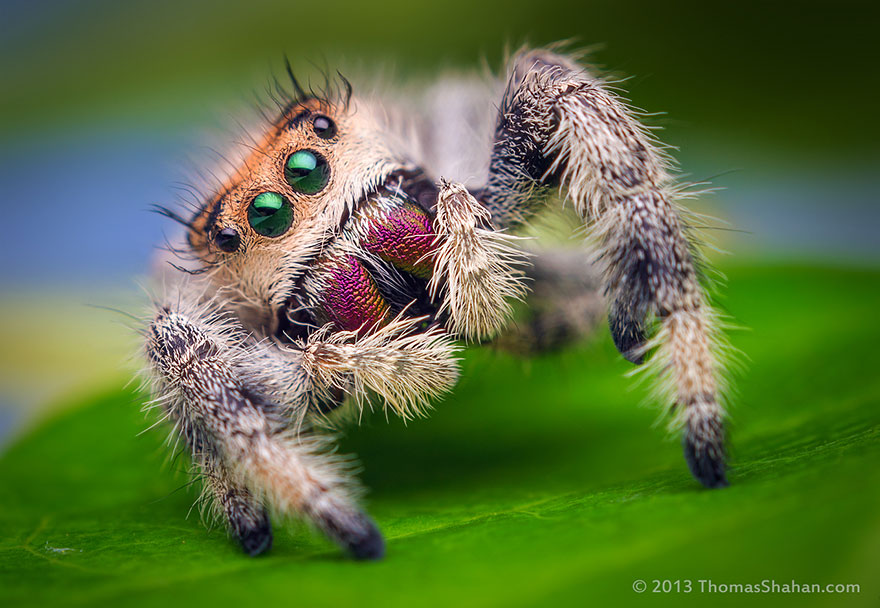 Ok, cure me please: SPIDERS! - Page 4 Jumping-spiders-macro-photography-thomas-shahan-9