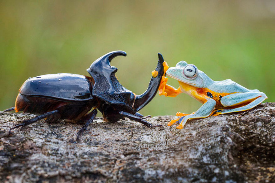 Photographer Captures World's Tiniest Rodeo: Frog Riding A Beetle Frog-riding-beetle-hendy-mp-1