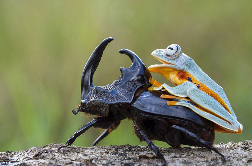 Photographer Captures World's Tiniest Rodeo: Frog Riding A Beetle Frog-riding-beetle-hendy-mp-10