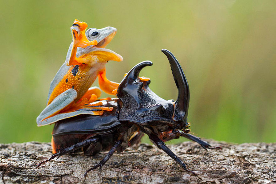 Photographer Captures World's Tiniest Rodeo: Frog Riding A Beetle Frog-riding-beetle-hendy-mp-2