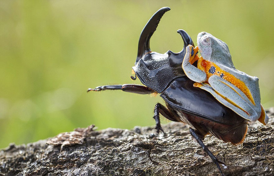 Photographer Captures World's Tiniest Rodeo: Frog Riding A Beetle Frog-riding-beetle-hendy-mp-3