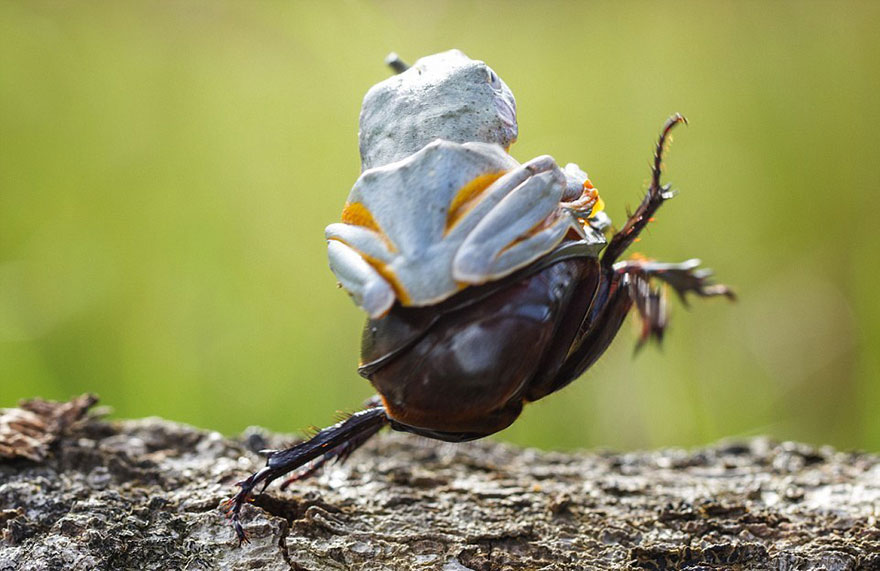Photographer Captures World's Tiniest Rodeo: Frog Riding A Beetle Frog-riding-beetle-hendy-mp-4