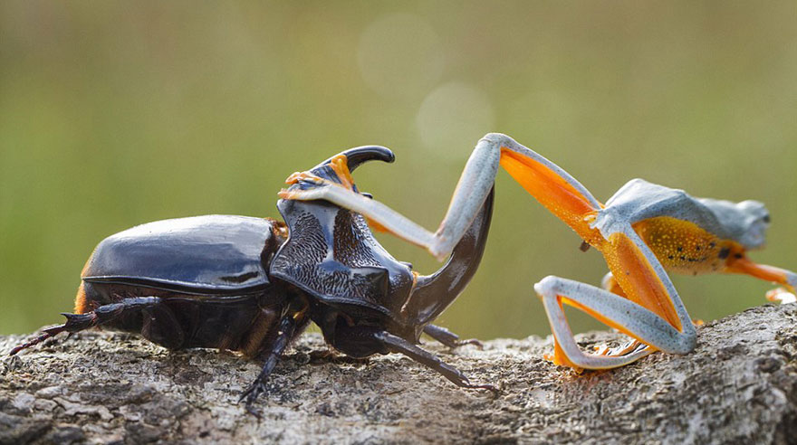 Photographer Captures World's Tiniest Rodeo: Frog Riding A Beetle Frog-riding-beetle-hendy-mp-5