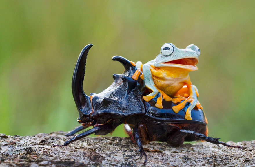 Photographer Captures World's Tiniest Rodeo: Frog Riding A Beetle Frog-riding-beetle-hendy-mp-6