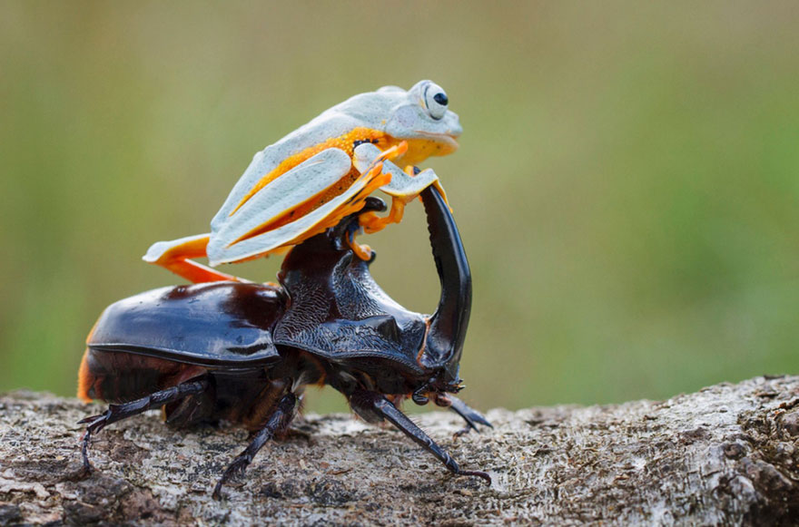 Photographer Captures World's Tiniest Rodeo: Frog Riding A Beetle Frog-riding-beetle-hendy-mp-7