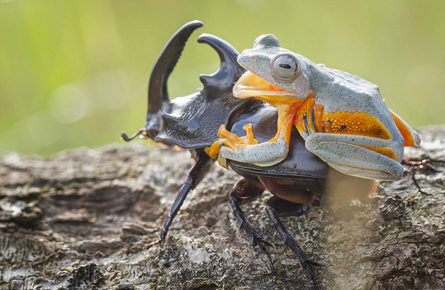 Photographer Captures World's Tiniest Rodeo: Frog Riding A Beetle Frog-riding-beetle-hendy-mp-9