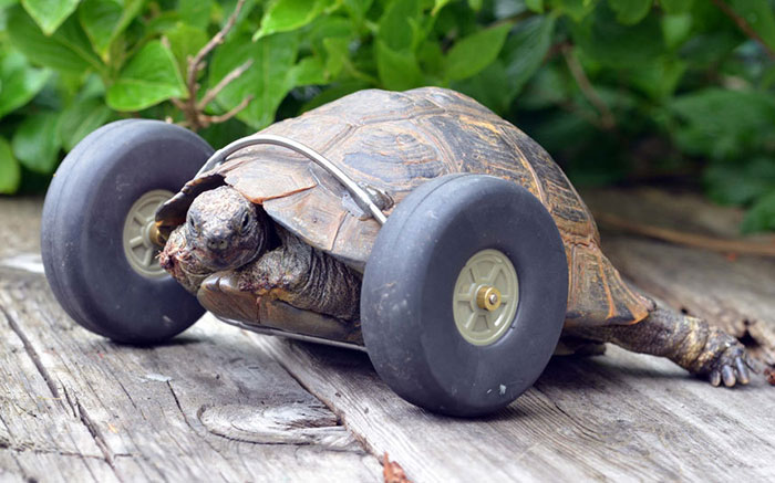 Someone  imagined it ... I like what he did  - Page 6 90-year-old-Tortoise-Ninja-Fast-Half-Cyborg-After-Wheels-Replace-Legs-Lost-in-Rat-Attack2__700