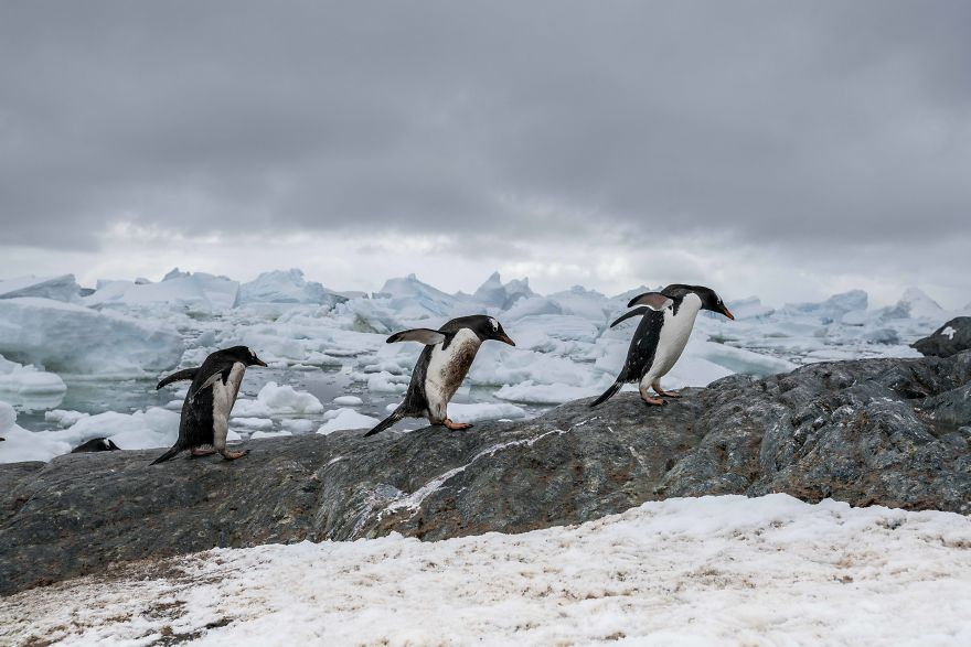 D'un pingouin à l'autre How-Antarctic-Penguins-adapt-to-climate-change-57c6b6ed72efd__880