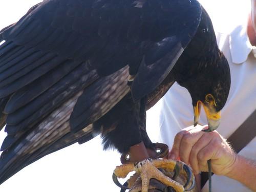 Comparação do tamanho de águias  com relação ao homem. 491203677_c51e2a8ff1