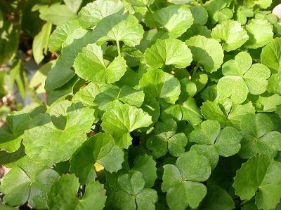 Centella Asiatica, un ottimo aiuto estetico e non solo 222981078_50929ae8af