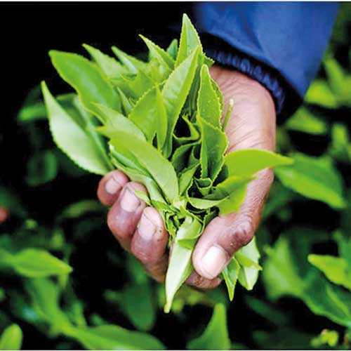 Good News for Plantations  Image_239926d6fc