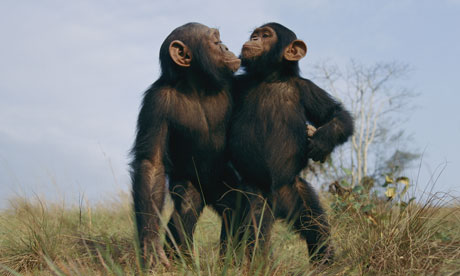 A biological theory of why we lie Two-male-chimpanzees-007