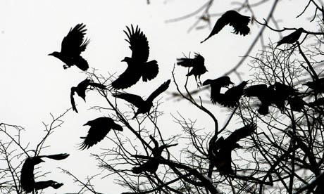 Angry Crows Attack Police Officers In Everett, Washington Country-Diary--Crows-fly--008
