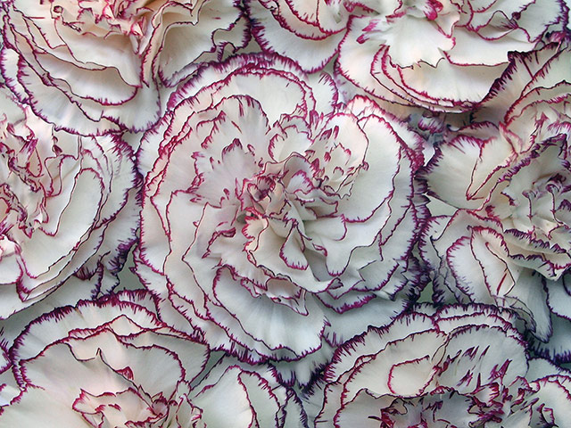 Paintings that look interesting if you're on mescalin Carnation-flowers-005