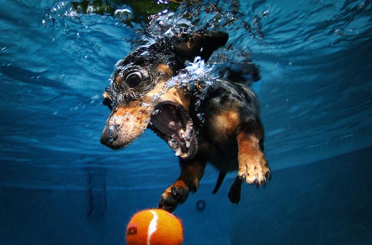 Dogs A-diving-dachshund-pursue-018
