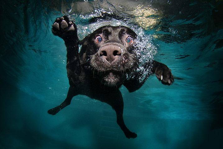 Dogs A-black-labrador-retrieve-020