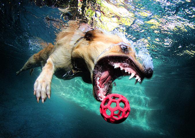 Dogs A-labrador-retriever-purs-021
