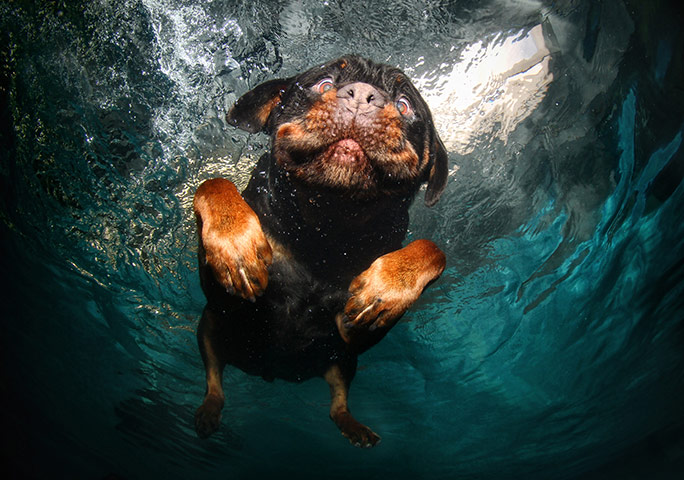 Dogs A-rottweiler-swims-around-026