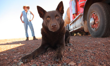 Koko: Red Dog of Oz Koko-stares-the-camera-ou-007
