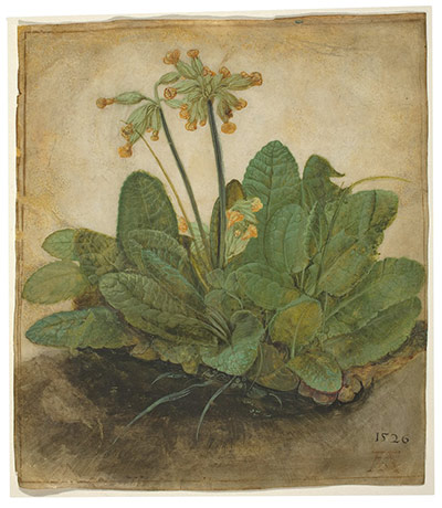 Flower paintings Tuft-of-Cowslips-by-Durer-004