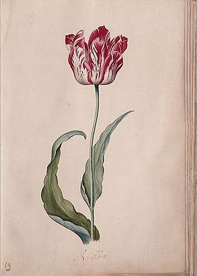 Flower paintings Tulip-from-her-Tulip-book-010