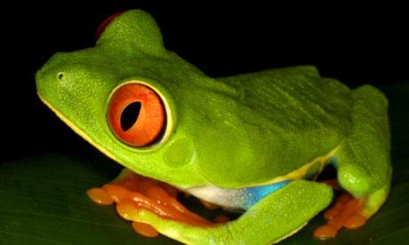 Brian Cox: No Alien Life  Redeye-tree-frog-010