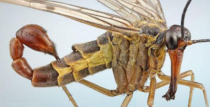 Le monde merveilleux des insectes - Page 2 20-scorpion-flly-tn-580xh
