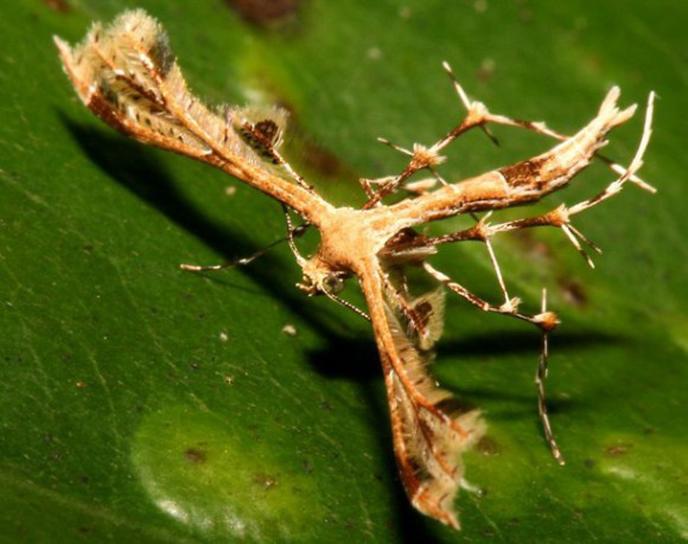 Le monde merveilleux des insectes - Page 2 4-brown-sulawesi-plume-moth-tn-580xh