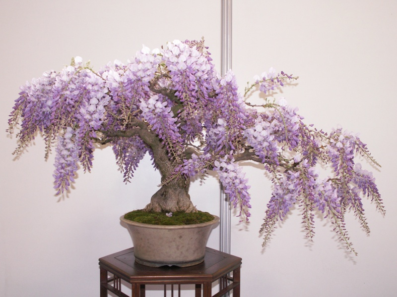 Projet: bonsaï de Glycine! 28467
