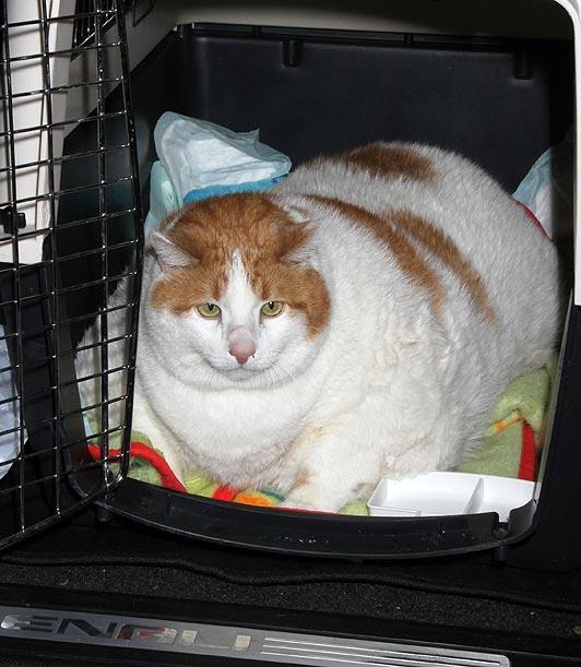 Najdeblja mačka na svijetu uginula usljed zatajenja srca 120508122.2_mn