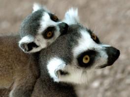 Lemuri su najugroženija životinjska vrsta na svijetu 120715111