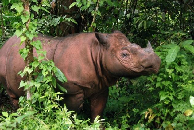 Ugroženi sumatranski nosorog se okotio u zatočeništvu B_120624013