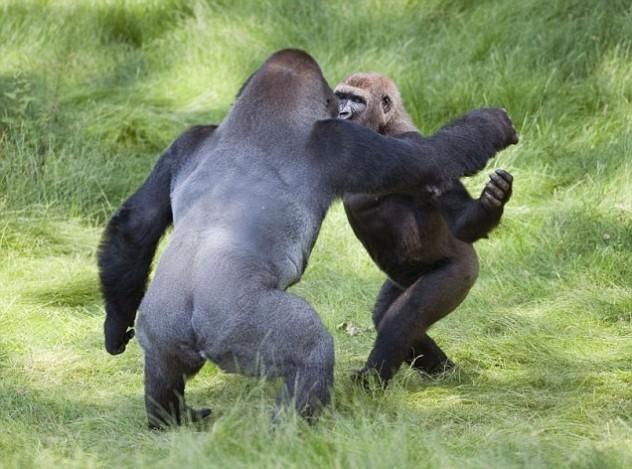 Braća gorile presretni nakon novog susreta B_120816144